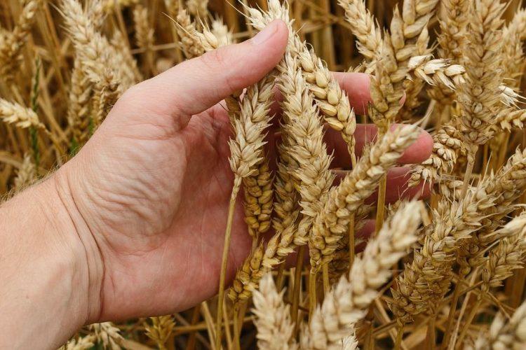 пшеница, зерно, зерновые