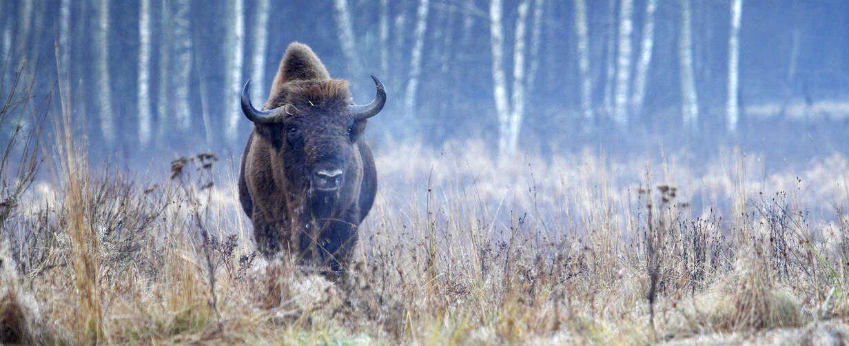 Bison (Bison bonasus) in Bialowieza National Park - Poland